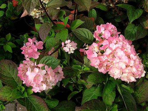 "Hydrangea Paniculata ""Vanilla Fraise"" Shrub"