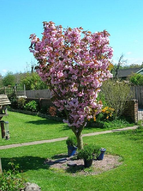 Ornamental Cherry Blossom Tree Prunus Kanzan