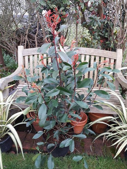 XL 1.2-1.5M PHOTINIA Red Robin Evergreen Shrub or Hedge Plant