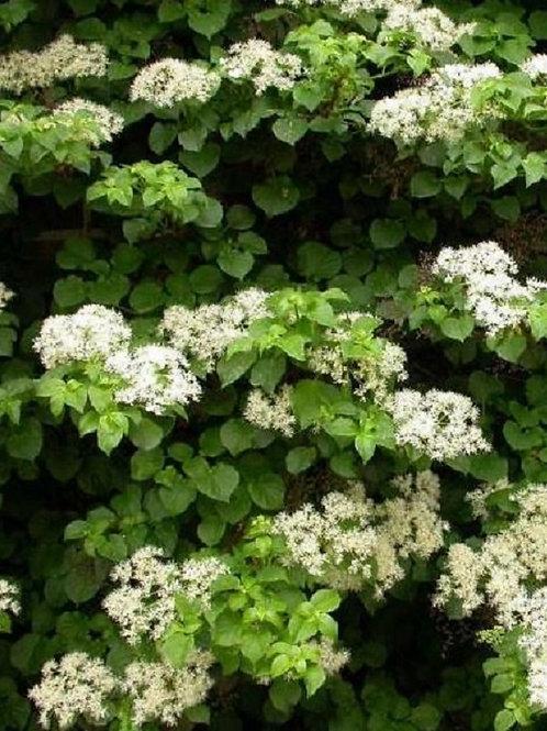 Hydrangea Petiolaris Climbing Plant