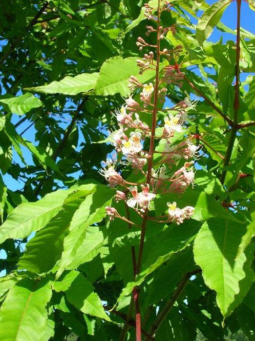 Rare ERYTHROBLASTOS Chinese or Indian CHESTNUT Conker Tree