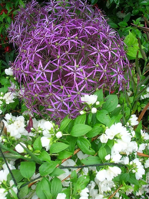 10 x Potted ALLIUM CHRISTOPHI large Perennial BULBS. Star of Persia