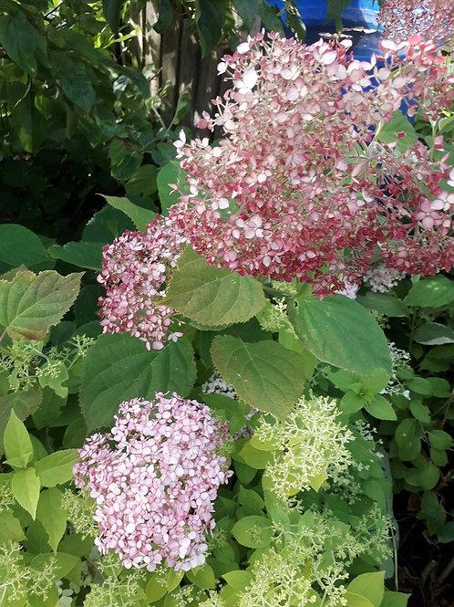 """Hydrangea Arborescens Pink """"Invincible Spirit"""" Shrub"""