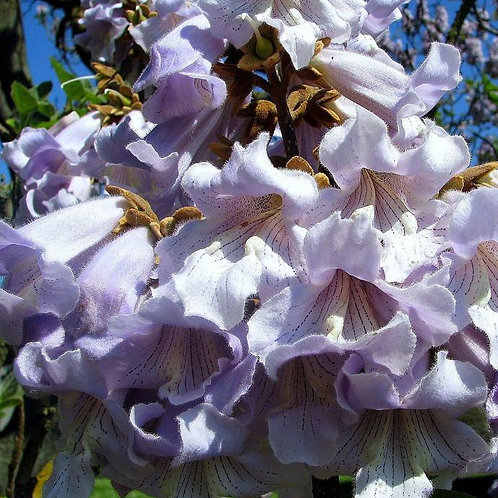 PAULOWNIA, Foxglove Tree or Shrub