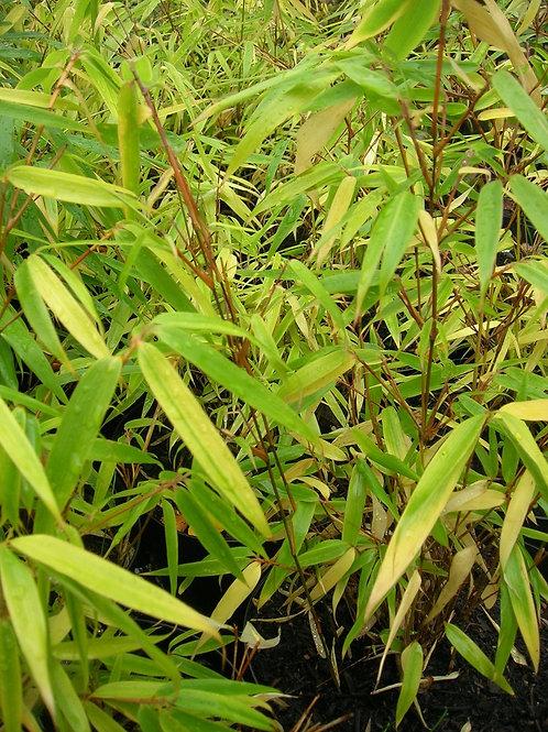 Umbrella Bamboo Fargesia Murielae plant