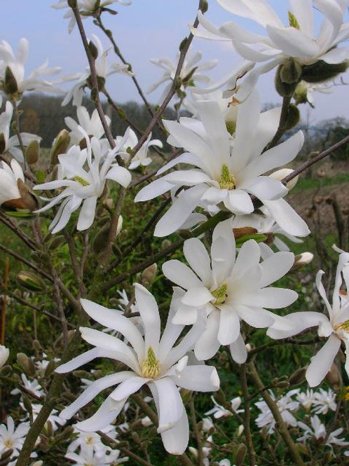 18ins MAGNOLIA STELLATA Scented Flowering Tree