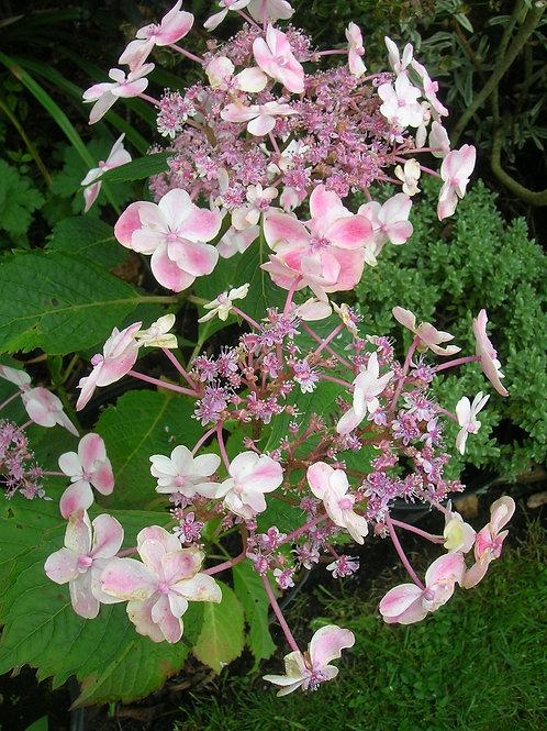 Hydrangea CAMILLA Flowering Shrub