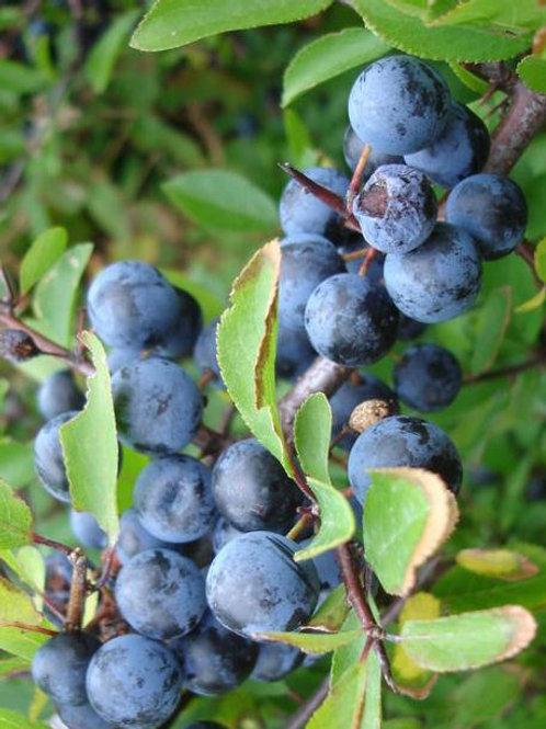 Blackthorn SLOE Shrub or Hedging. Fruit