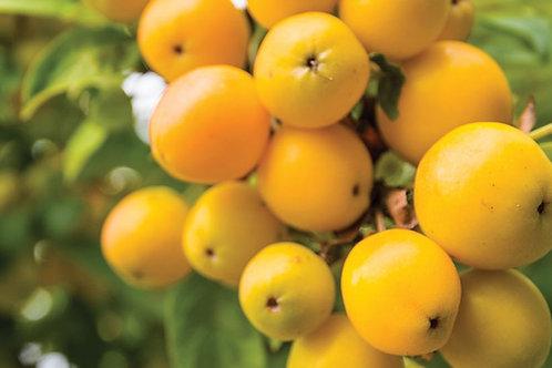 """Crab Apple Tree """"GOLDEN HORNET"""", Fruit, Blossom"""