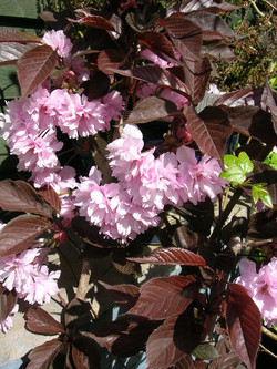 cherry royal burgundy 18