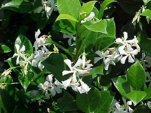 Star Jasmine climber, Trachelospermum White