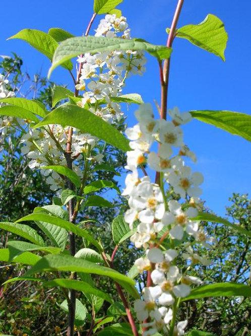 Shrub or Small Tree, BIRD CHERRY, Prunus Padus Cherry