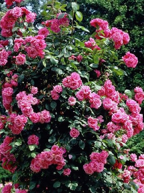 Climbing Scented Deep PINK Rose PINK PERPETUE, Potted