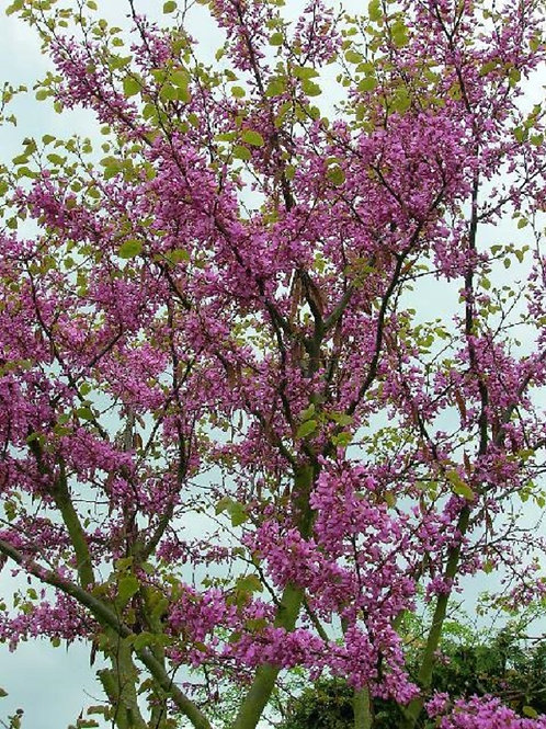 Judas Tree, Cercis Avondale, 2litre pot