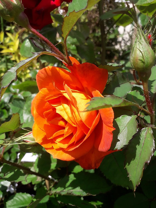 "Potted Orange-red Shrub ROSE ""Super Trouper"", scented"