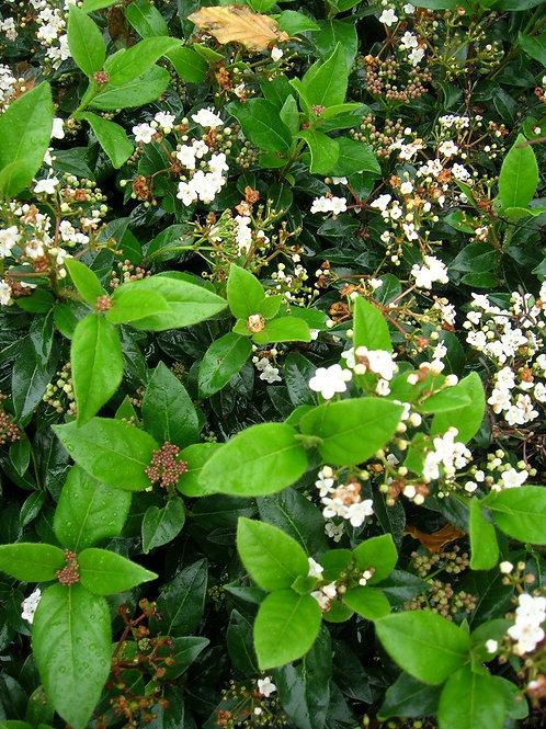 Viburnum Tinus EVE PRICE Evergreen Shrub