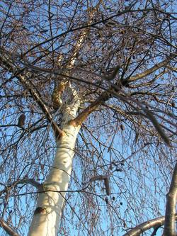birchweeping
