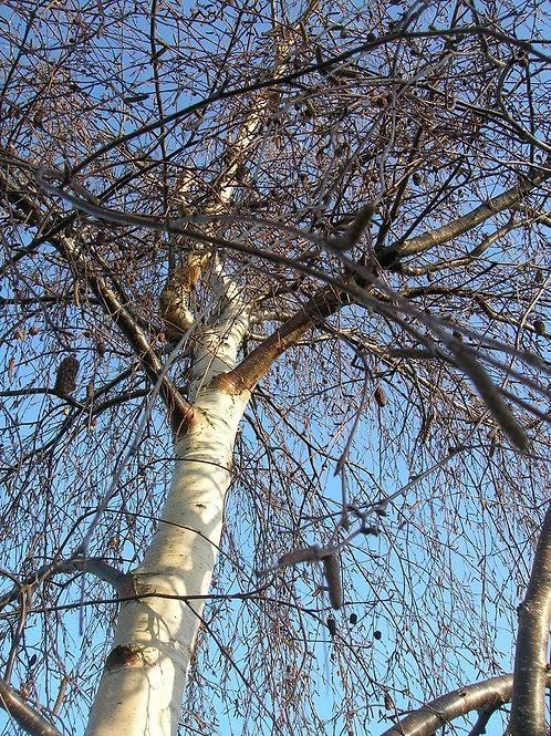 Young WEEPING Silver BIRCH Betula Pendula Youngii Tree 5-6ft