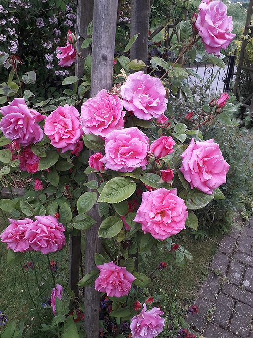 Climbing Scented Thornless Rose ZEPHIRINE DROUGHIN, Pink