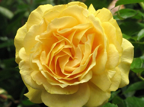 Lg Scented Golden Yellow Rose ABSOLUTELY FABULOUS