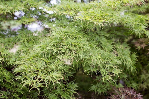 Japanese Maple Acer Palmatum Dissectum SIERYU