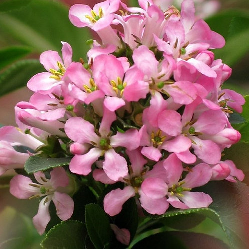 "Escallonia ""Pink Elle"" Dwarf Evergreen Shrub"