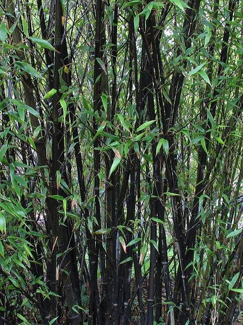 Black Bamboo Phyllostachys Nigra plant, 7.5litre pot