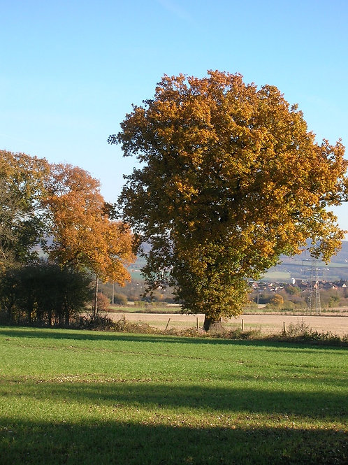 English Oak Tree Quercus Robur