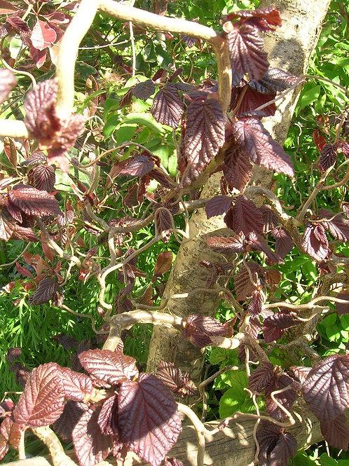 Corylus Contorta Purpurea, Twisted Corkscrew Purple Hazel