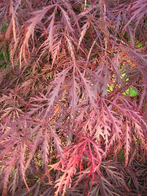 Japanese Maple Acer Palmatum Dissectum GARNET