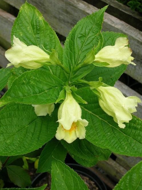 Weigela MIDDENDORFFIANA Cream Flowering Shrub
