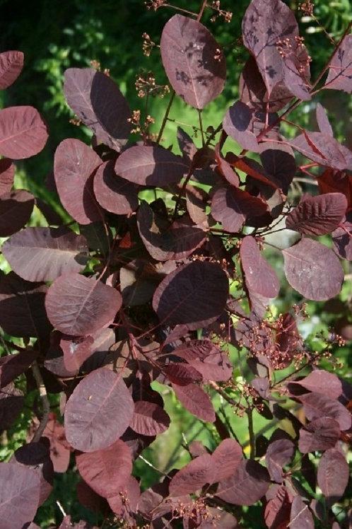 Cotinus Coggygria Royal Purple, Smoke Bush Shrub