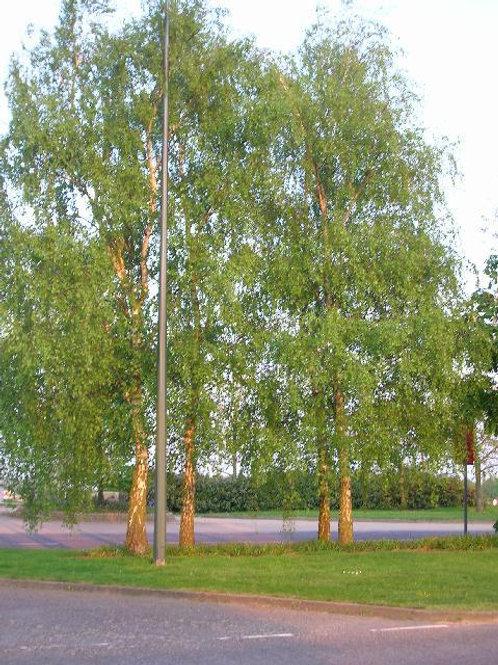 Silver Birch Tree Betula Alba 15-18ins potted