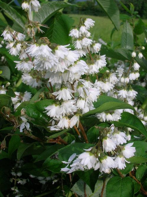 Lg DEUTZIA Scabra Plena, white flowering shrub