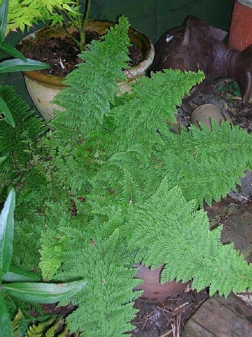 Soft Shield Fern, Polystichum Setiferum