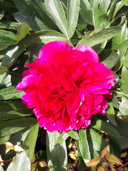 Pinky-red Paeony (Peony) RUBRA 3litre Potted