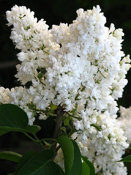Lilac Syringa White Madame Lemoine Tree Shrub