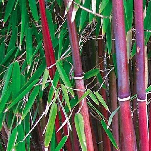 Red Bamboo, Fargesia Asian Wonder, 4litre pot