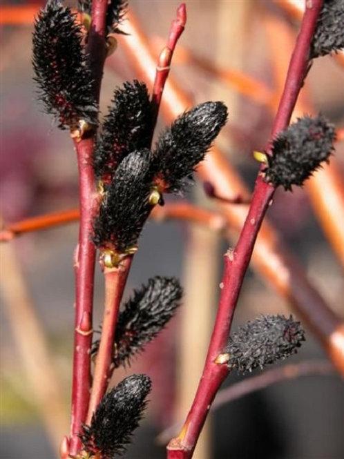 Black Pussy Willow Tree or Shrub, Salix Gracilistyla Melanostachys