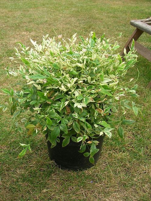 "XL Nandina ""Twilight"" Heavenly Bamboo Evergreen Shrub"
