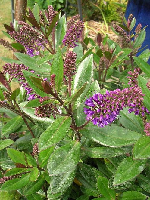 HEBE Franciscana Purple Gem Evergreen Shrub