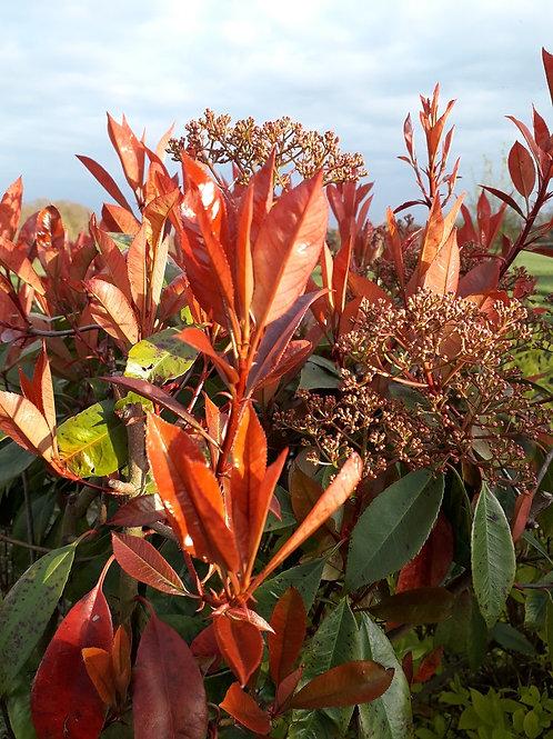 PHOTINIA Red Robin Evergreen Shrub or Hedge Plant