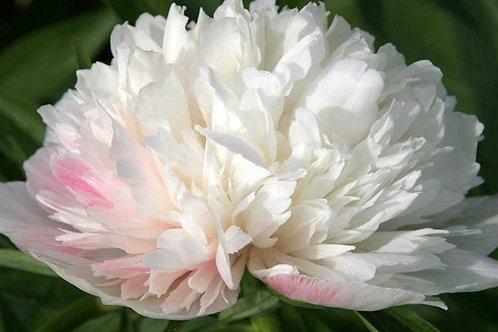 White Paeony (Peony) ALBA Potted