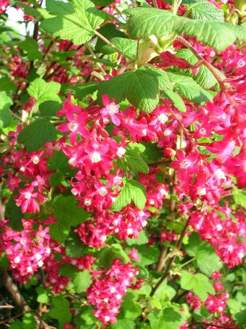 RIBES Sanguineum, Flowering Currant