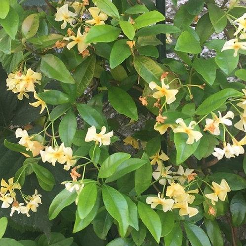 Star Jasmine climber, Trachelospermum Toscane