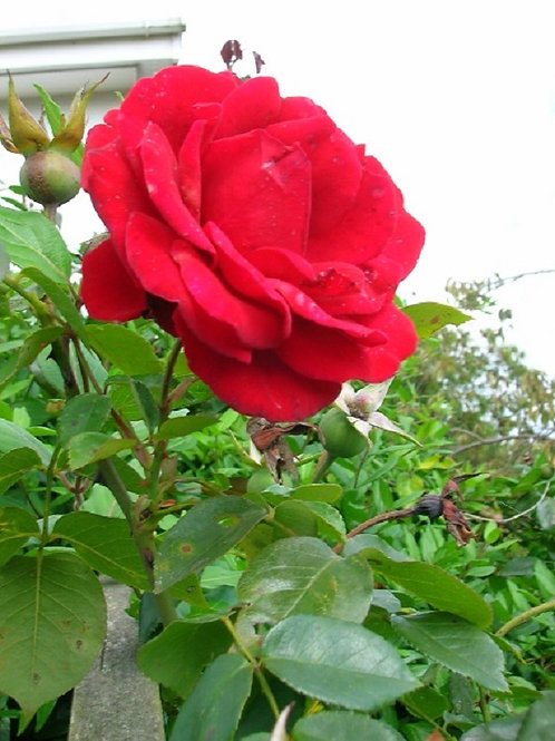 2-3ft Climbing Scented RED Rose ENA HARKNESS, Potted