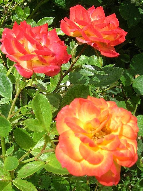 Striking scented orange yellow red Rose RUMBA