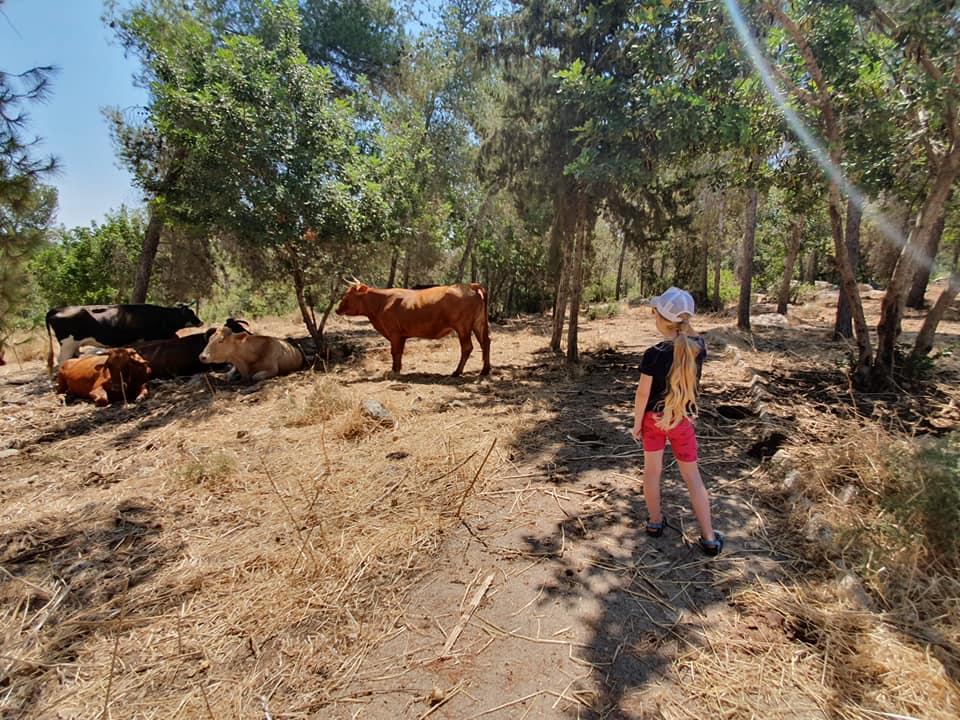 פרות בצידי השביל