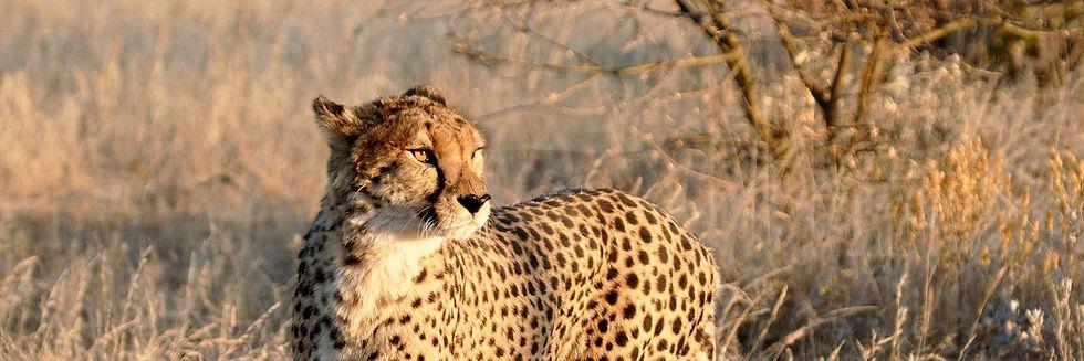 Cheetah_in_Etosha_National_Park285870_le