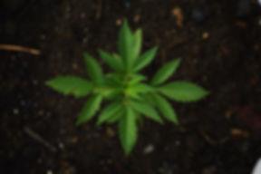 Canva - Cannabis Plant in Soil.jpg